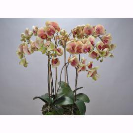 Aranjamente florale LUX - Aranjament floral ORCHID O/SOIL PINK 83cm